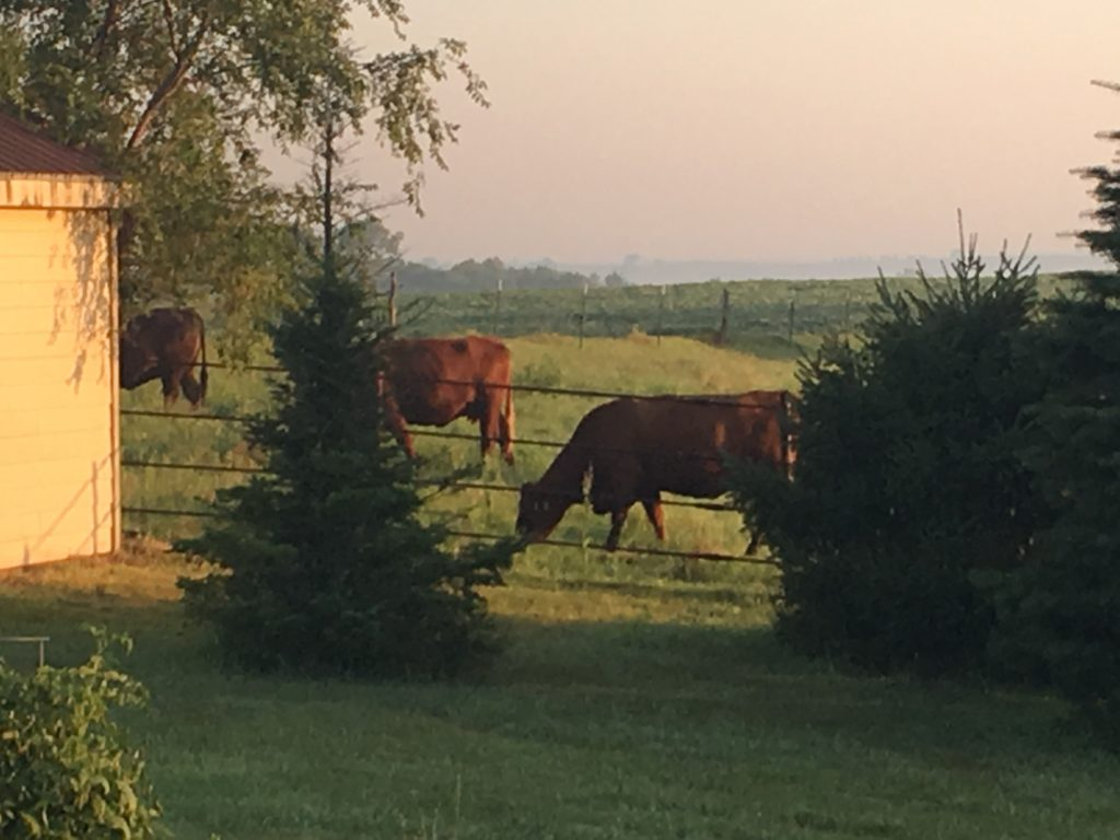 Red Cattle Grazing